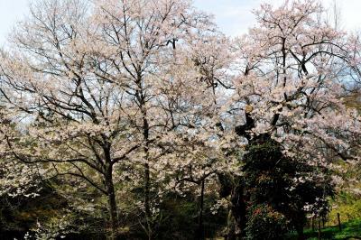 椿と桜| 椿と桜の長閑な風景。静かに楽しめる隠れた名桜。