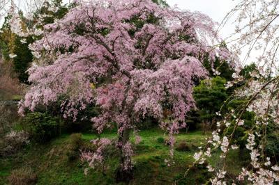 観桜台から忠七桜を眺める| ピンク色の濃い美桜。丘の上で堂々と咲き誇る。