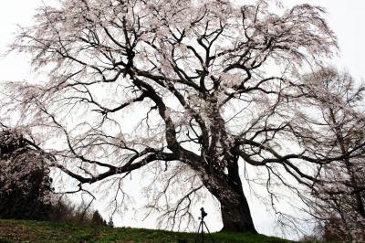 五斗蒔田桜| 巨大な名桜の下で。迫力に圧倒されます。