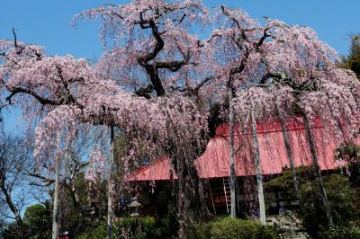 朱色の本殿としだれ桜| 高台から降り注ぐようなシダレ桜。