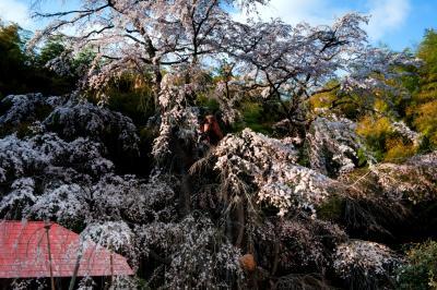 夕暮れの雪村桜| 斜めの優しい光が雪村桜に当たります