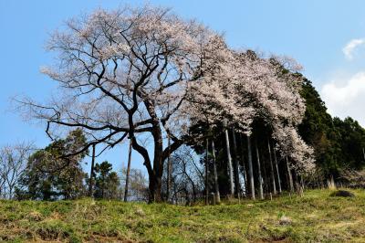 左はまだだよ| 右側から花をつける面白い桜