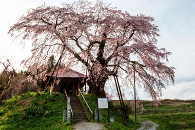 赤い屋根と古桜| 桜の下には社と菜の花があります。