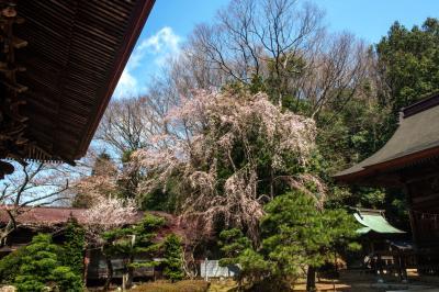 田村大元神社の桜| 本殿の左側に桜があります