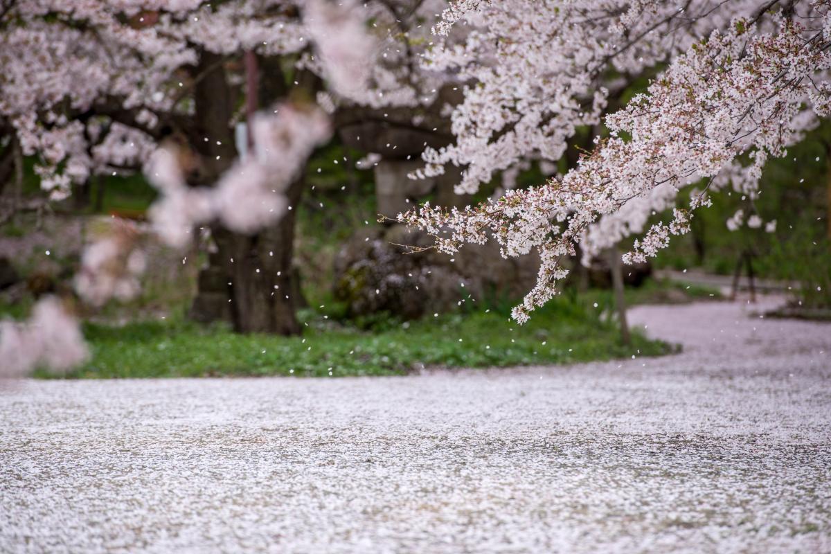桜の絨毯と吹雪 境内を歩くとあちらこちらで桜吹雪が舞っています。
