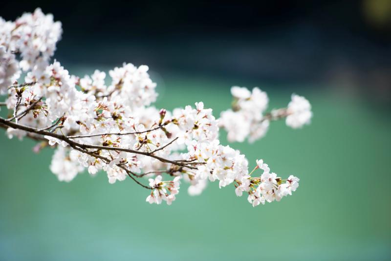 [ 光と風の中で ]  気持ちよさそうな桜の花