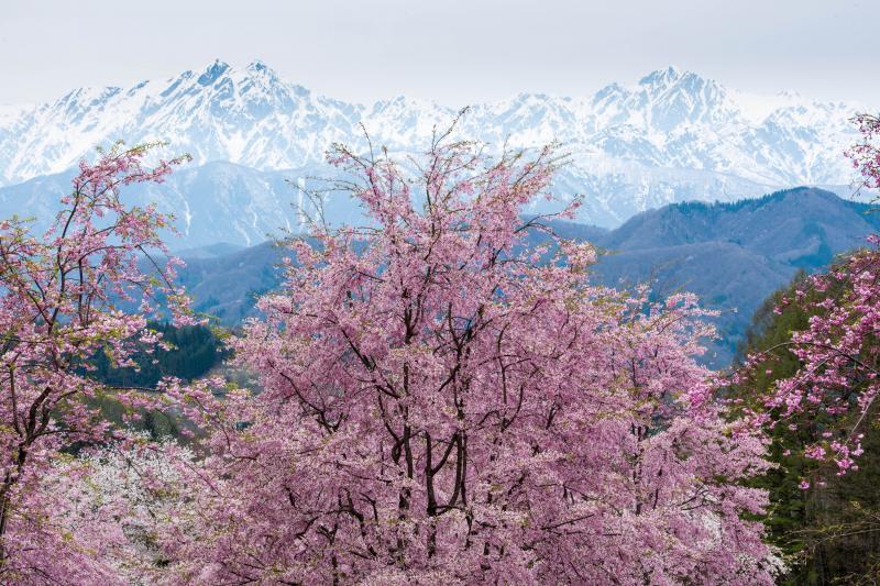 桜山と残雪の北アルプス | 左が鹿島槍ヶ岳・右が五竜岳。若くピンクの濃い桜たち。
