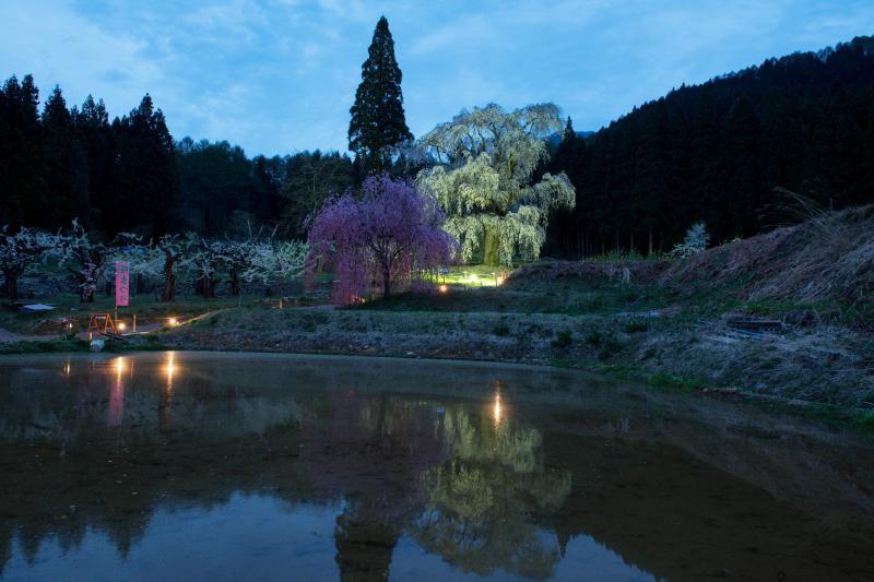 [ 水中のしだれ桜・ライトアップ ]  付近の田んぼに水が張られていました。