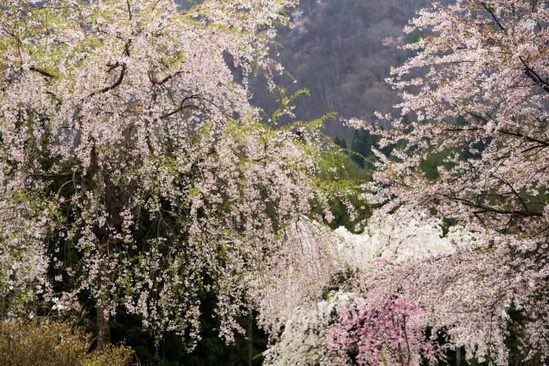[ 貞麟寺境内の桜 ]  境内には数多くの桜があります。