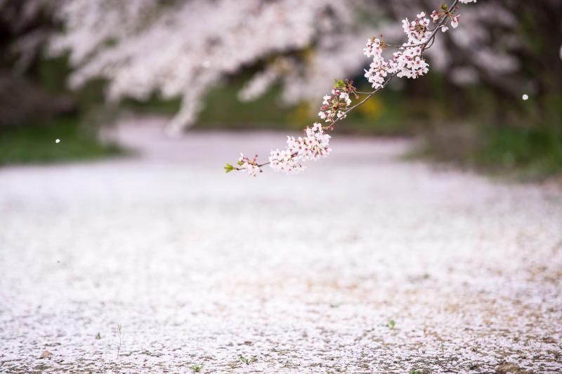 [ 散りかけの ]  柔らかい風に花が舞う