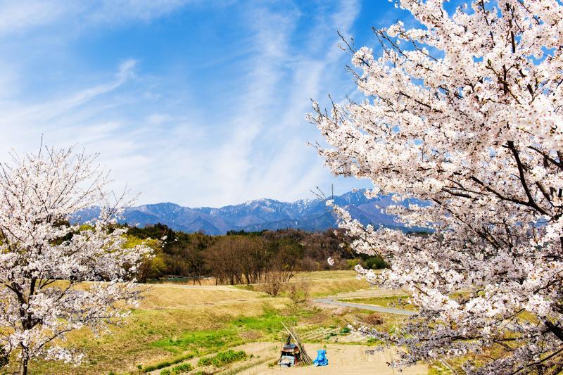 [ 天竜橋付近の桜 ]  ベンチが置いてあり、その周辺には桜が植えてあります。 桜と中央アルプスの写真を撮影することができます。