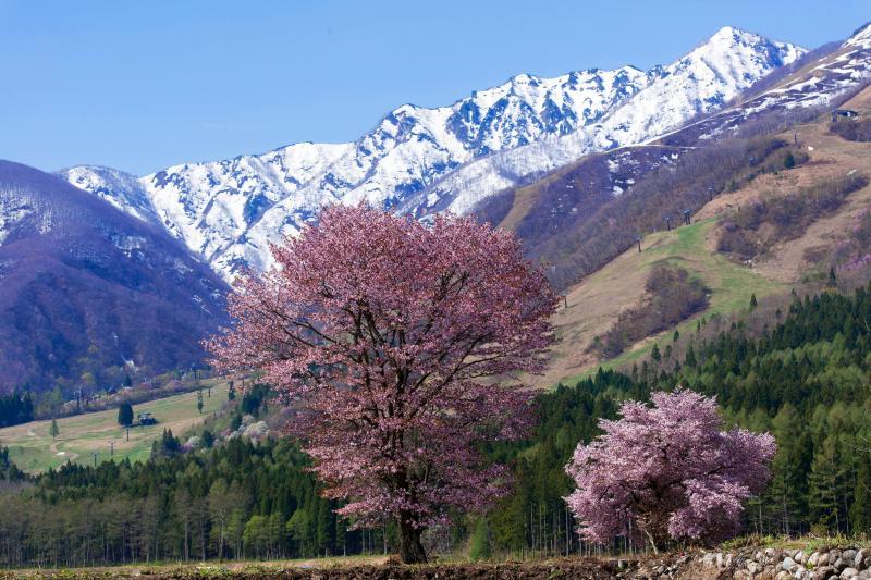 [ Hakuba47入口の桜 ]  残雪の峰と二本並んで咲く桜。