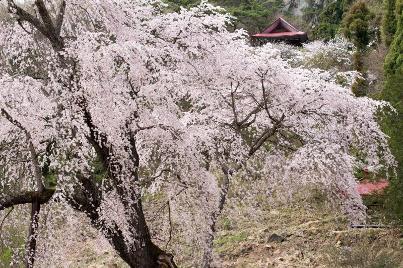 [ 赤和観音のしだれ桜を見上げて ]  斜めに生えている桜です。