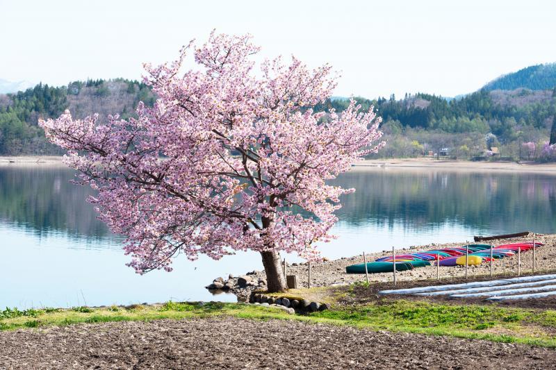 [ 桜とカラフルボート ]  桜の右奥にはボートが並んでいます。