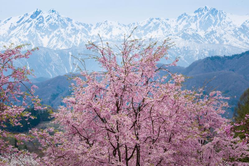 [ いつまでも・・・ ]  桜と残雪の鹿島槍ヶ岳・五竜岳のコラボレーション。