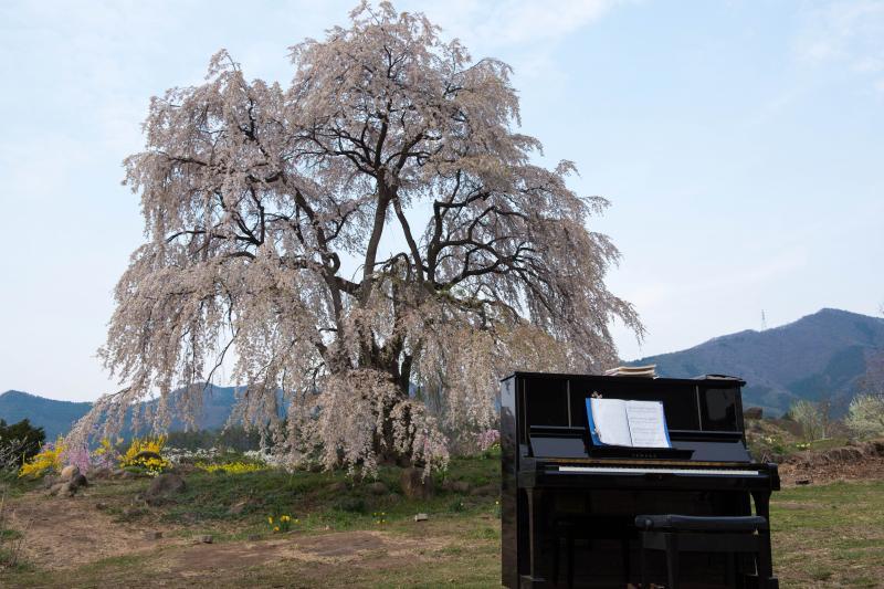 [ 桜とピアノ ]  毎年ピアノが置かれ、美しいメロディが流れます。