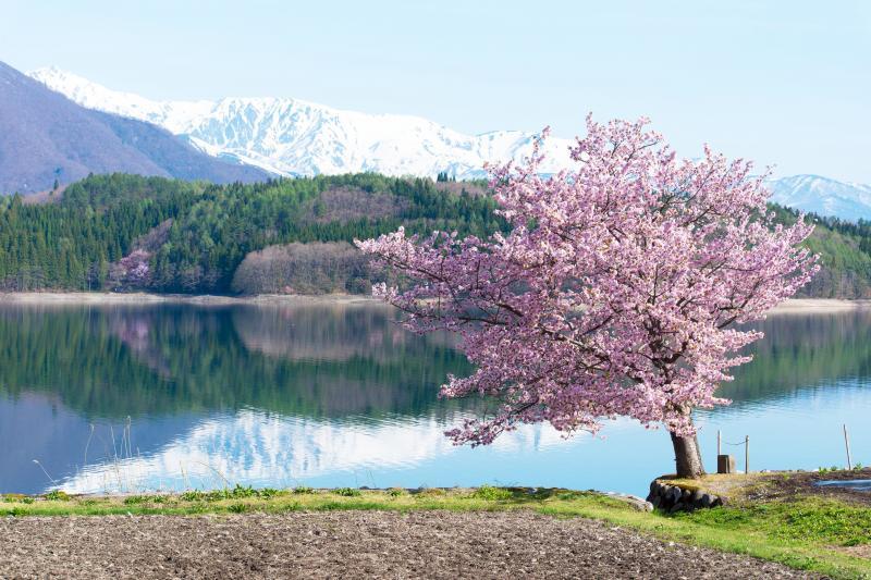 [ 青木湖の桜と北アルプス ]  湖面に映った残雪の山が素晴らしい