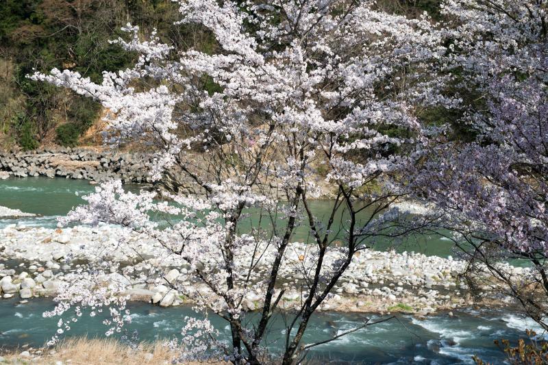 [ 桜と天竜川 ]  春の流れ
