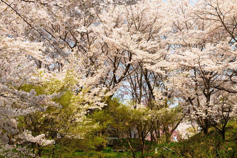 [ 空が見えないほどの桜 ]  枝の隙間からしか空が見えません。
