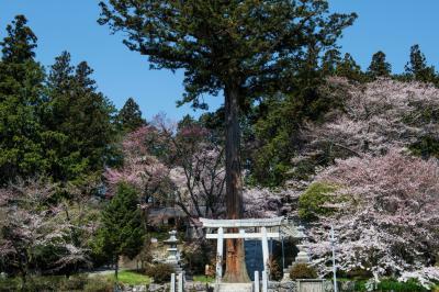 牛牧神社の桜と巨大杉| 階段の真ん中に巨木が立っています。