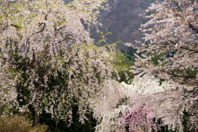貞麟寺境内の桜| 境内には数多くの桜があります。