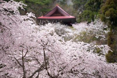 [ しだれ桜と観音堂 ]  赤い屋根が印象的