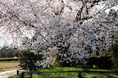 松源寺の桜|
