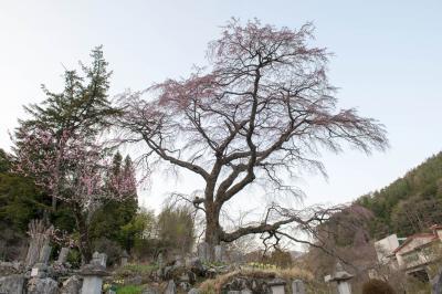 黒船桜| お墓を守るように立つ桜