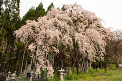 坪井のしだれ桜| 太い幹が凄いです。