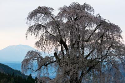 水中のしだれ桜・夕景| 夕暮れどき遠くに飯綱山が見えました。