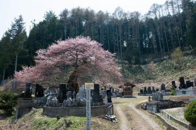 墓地に立つ、大日堂のヒガンザクラ| お墓を守っている桜です。