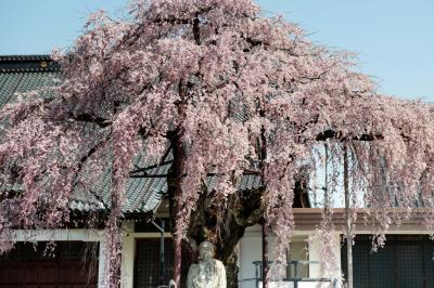 専照寺のシダレザクラと仏様| 半円形が美しい古木