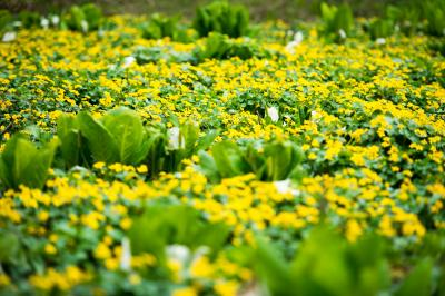 [ 水芭蕉を囲んで ]  リュウキンカの間に水芭蕉が咲いています。