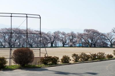 高森南小学校のソメイヨシノ| 校庭を囲む古木が見事
