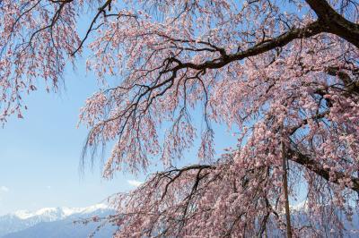 [ 栖林寺のしだれ桜と中央アルプス ]  青空に浮かぶ雲と桜が美しい