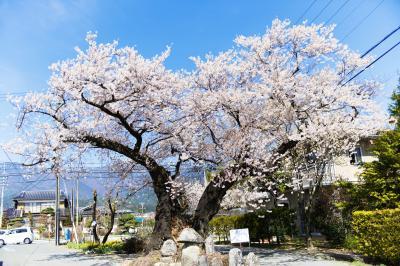 原田の桜| 道路の真ん中にあります。