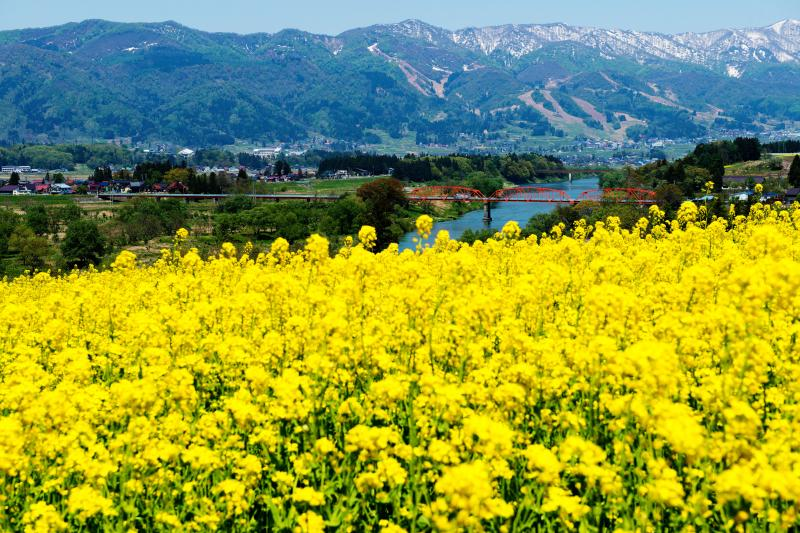 [ 菜の花に囲まれて ]  菜の花畑の向こうには千曲川と残雪の山々が見えます。