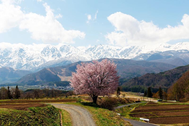 [ 野平の桜 全景 ]  道路から少し登った高台にあります。