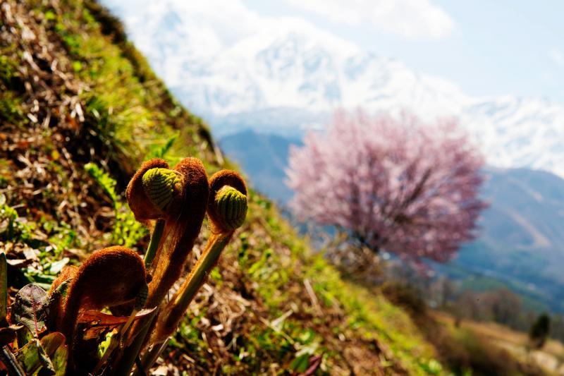[ 桜とぜんまいと白馬三山 ]  菜の花・山菜などが春を告げています。