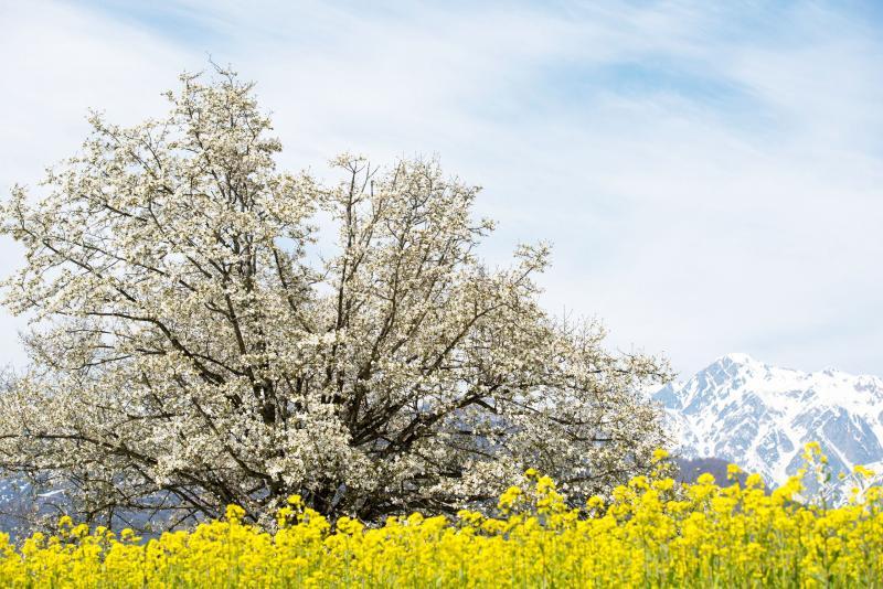 [ 四十九院のこぶしと白馬連邦 ]  菜の花と残雪の山に囲まれて