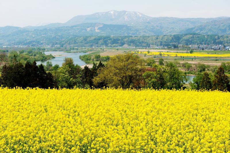 [ 菜の花畑と斑尾山 ]  千曲川と斑尾山が見えます。川の対岸の河川敷にも菜の花が植えられています。
