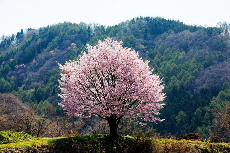 [ 野平の桜 ]
