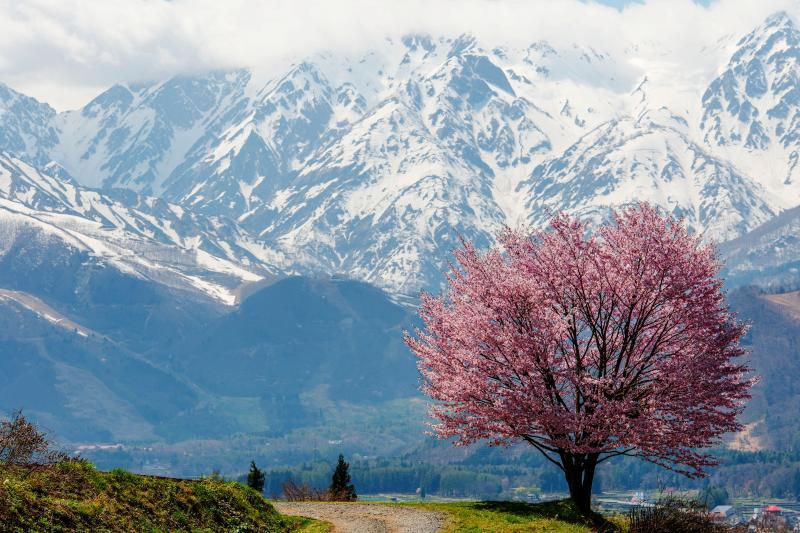 [ 野平の桜と白馬三山 ]  ここでしか味わえない開放感があります。大迫力の絶景。
