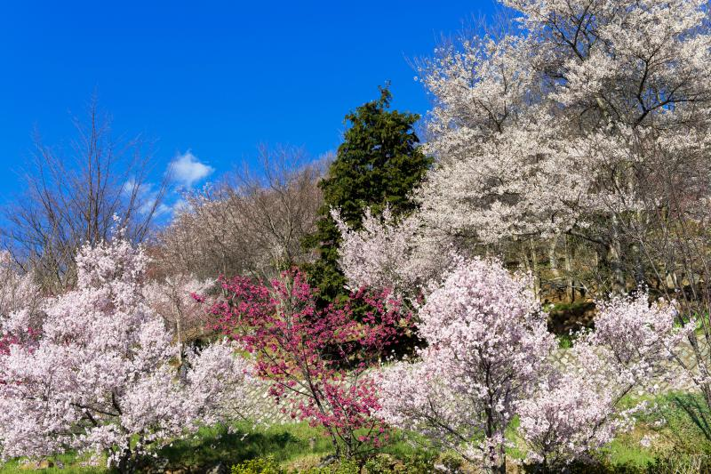 塩山ふれあいの森の桜 | 山の斜面にたくさんの桜があります。