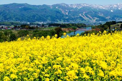 菜の花に囲まれて| 菜の花畑の向こうには千曲川と残雪の山々が見えます。