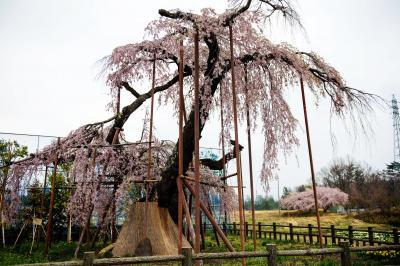 神田の大糸桜・全景| 古木ならではの味があります。