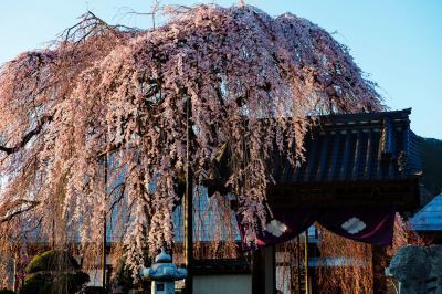 ボンボリ桜| 半円形が美しい桜です。山門を守るように花を付けています。