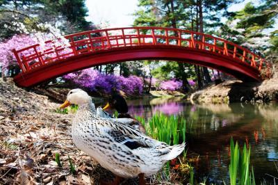 [ あひるの春 ]  アヒルたちも桜とツツジを楽しんでいるようでした。