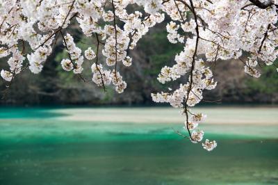 駒場ダムの桜| エメラルドグリーの水が神秘的