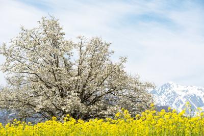 四十九院のこぶしと白馬連邦| 菜の花と残雪の山に囲まれて